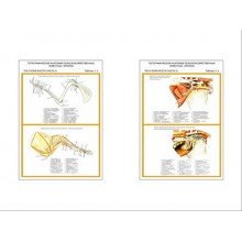"""Плакаты ПРОФТЕХ """"Топограф. анатомия. Кролик. Таз и конеч."""" (2 пл, винил, 70х100)"""